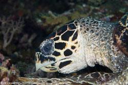 BD-140324-Apo-3370-Eretmochelys-imbricata-(Linnaeus.-1766)-[Hawksbill-turtle.-Karettsköldpadda].jpg